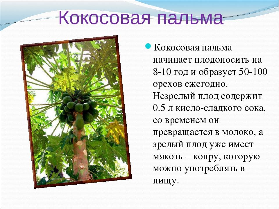 Кокосовая пальма Кокосовая пальма начинает плодоносить на 8-10 год и образует...