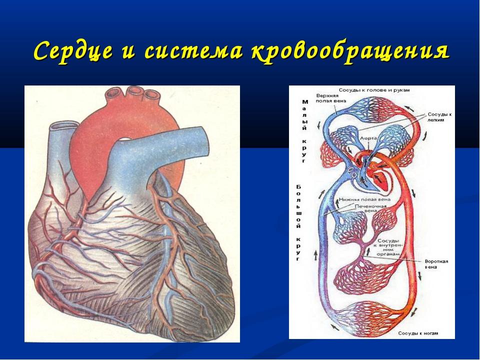 Сердце и система кровообращения
