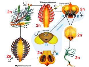 2n 2n 2n 2n 2n n n n 2n n 2n пыльца яйцеклетка