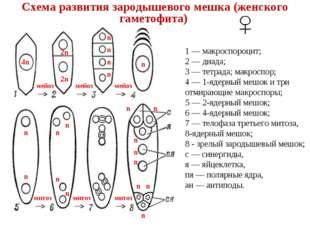 1 — макроспороцит; 2 — диада; 3 — тетрада; макроспор; 4 — 1-ядерный мешок и