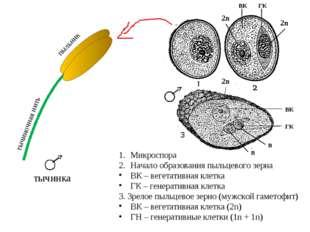 Микроспора Начало образования пыльцевого зерна ВК – вегетативная клетка ГК –