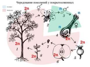 Чередование поколений у покрытосеменных n n n 2n 2n 2n 2n 2n 2n половое беспо