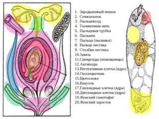Зародышевый мешок Семязачаток Пыльцевход Тычиночная нить Пыльцевая трубка Пыл