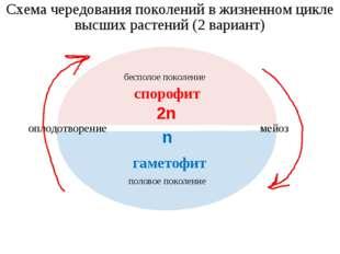 Схема чередования поколений в жизненном цикле высших растений (2 вариант) бес