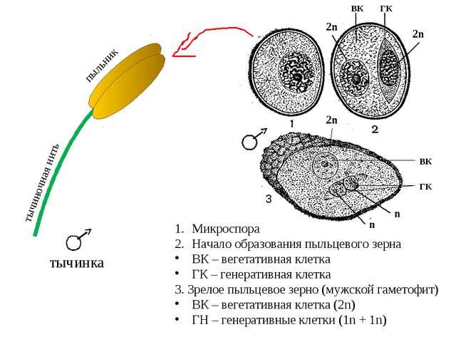 Микроспора Начало образования пыльцевого зерна ВК – вегетативная клетка ГК –...