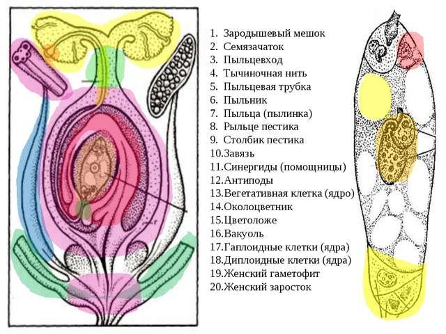 Зародышевый мешок Семязачаток Пыльцевход Тычиночная нить Пыльцевая трубка Пыл...