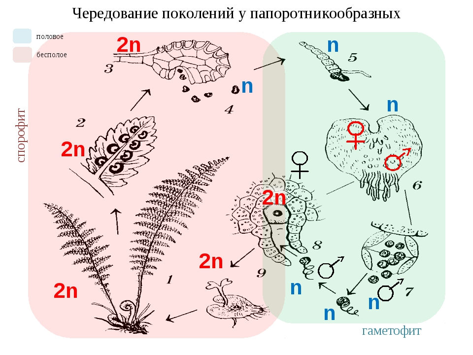 2n Чередование поколений у папоротникообразных 2n 2n 2n n n n n n спорофит га...