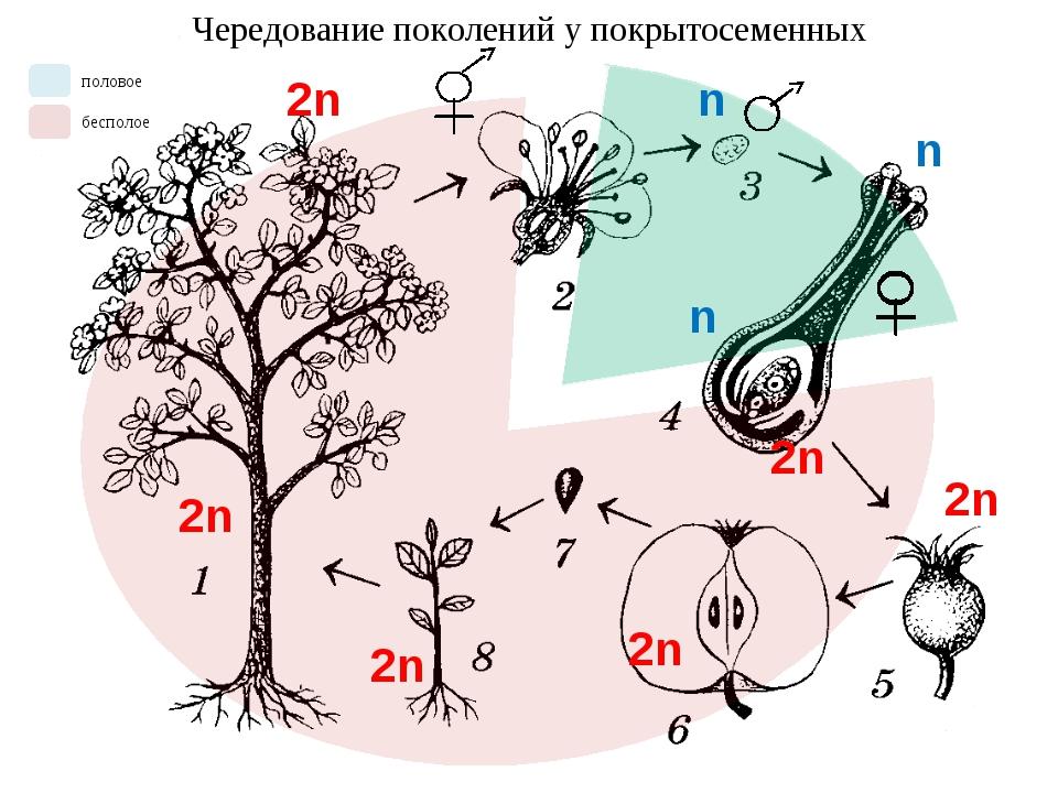 Чередование поколений у покрытосеменных n n n 2n 2n 2n 2n 2n 2n половое беспо...
