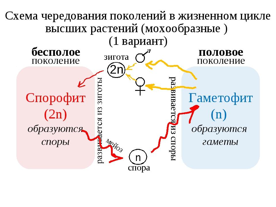Схема чередования поколений в жизненном цикле высших растений (мохообразные )...