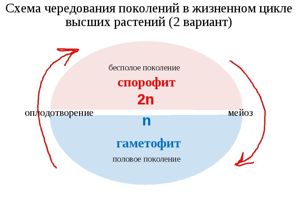 Схема чередования поколений в жизненном цикле высших растений (2 вариант) бес...