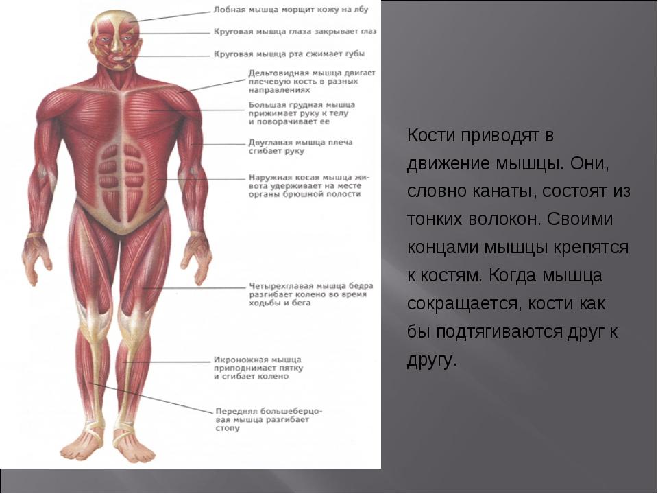 Кости приводят в движение мышцы. Они, словно канаты, состоят из тонких волоко...