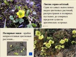 Лютик серно-жёлтый. Один из самых выносливых видов цветковых растений, распро