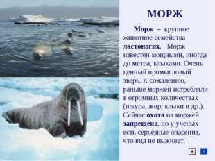 МОРЖ Морж – крупное животное семейства ластоногих. Морж известен мощными, ино