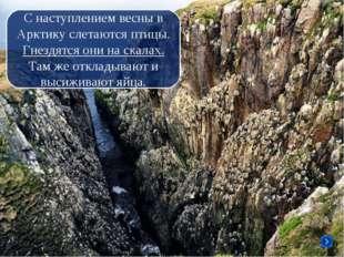 С наступлением весны в Арктику слетаются птицы. Гнездятся они на скалах. Там