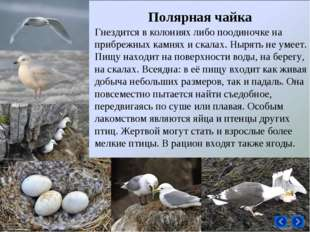 Гнездится в колониях либо поодиночке на прибрежных камнях и скалах. Нырять не