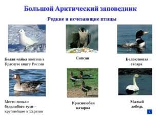 Белая чайка внесена в Красную книгу России Место линьки белолобого гуся – кру