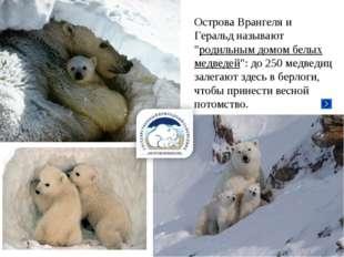 """Острова Врангеля и Геральд называют """"родильным домом белых медведей"""": до 250"""
