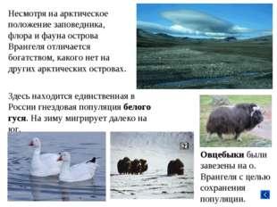Несмотря на арктическое положение заповедника, флора и фауна острова Врангеля