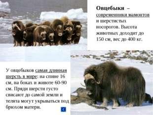 Овцебыки – современники мамонтов и шерстистых носорогов. Высота животных дохо