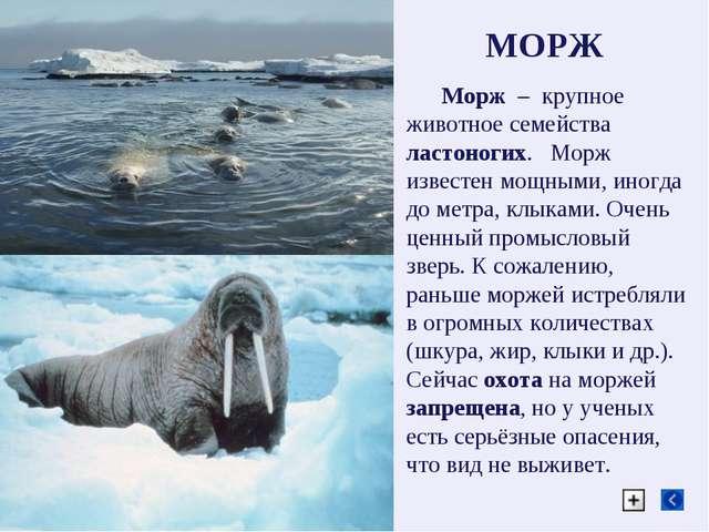 МОРЖ Морж – крупное животное семейства ластоногих. Морж известен мощными, ино...