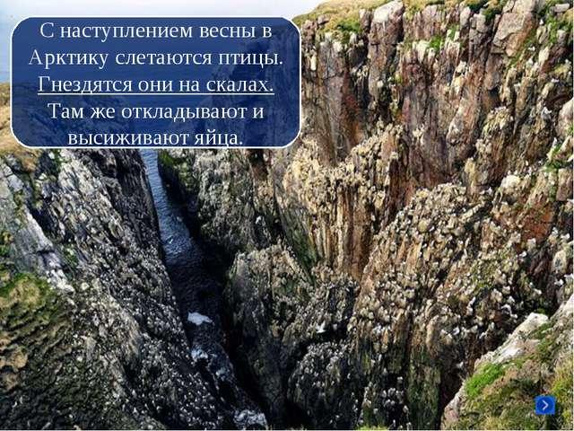С наступлением весны в Арктику слетаются птицы. Гнездятся они на скалах. Там...