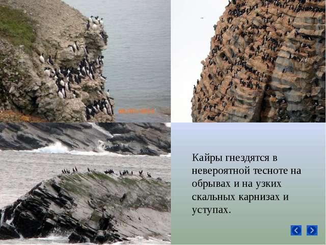 Кайры гнездятся в невероятной тесноте на обрывах и на узких скальных карнизах...