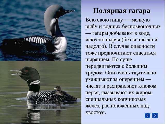 Полярная гагара Всю свою пищу — мелкую рыбу и водных беспозвоночных — гагары...