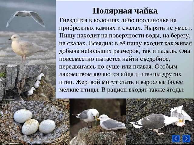 Гнездится в колониях либо поодиночке на прибрежных камнях и скалах. Нырять не...