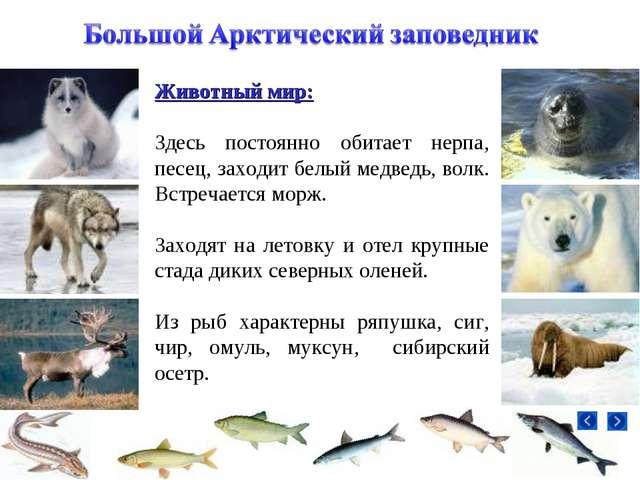 Животный мир: Здесь постоянно обитает нерпа, песец, заходит белый медведь, во...