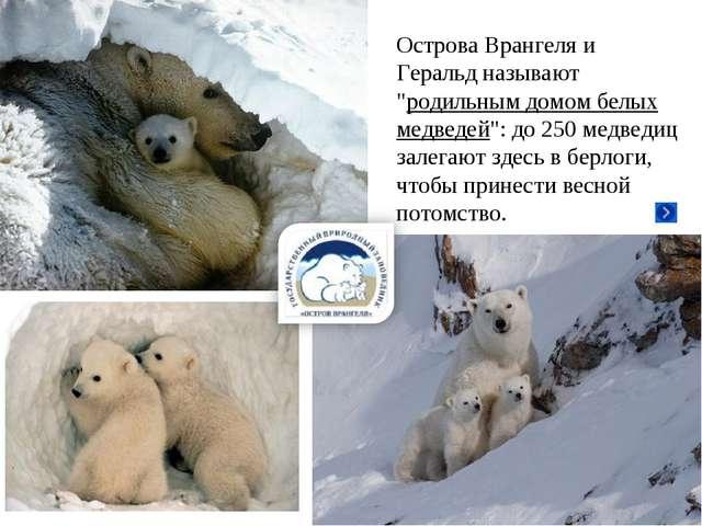 """Острова Врангеля и Геральд называют """"родильным домом белых медведей"""": до 250..."""