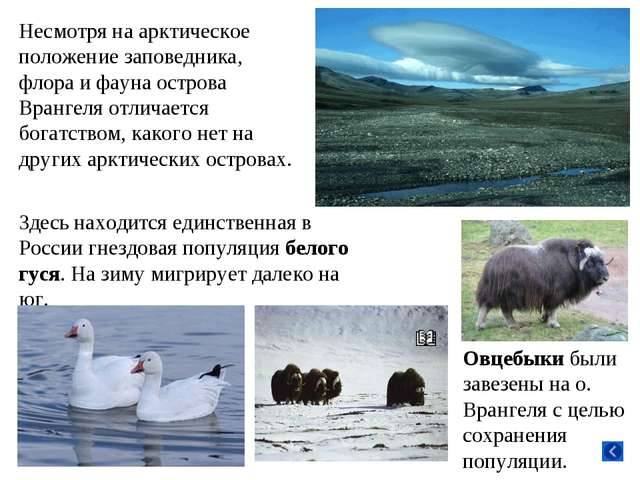 Несмотря на арктическое положение заповедника, флора и фауна острова Врангеля...