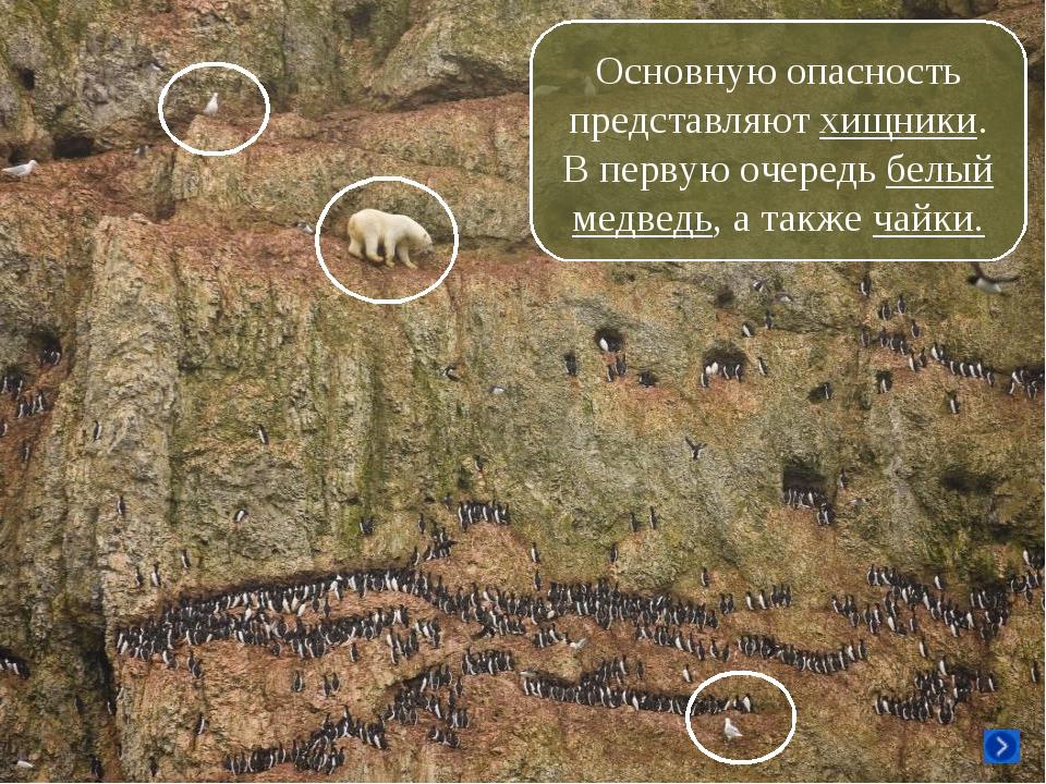 Основную опасность представляют хищники. В первую очередь белый медведь, а та...