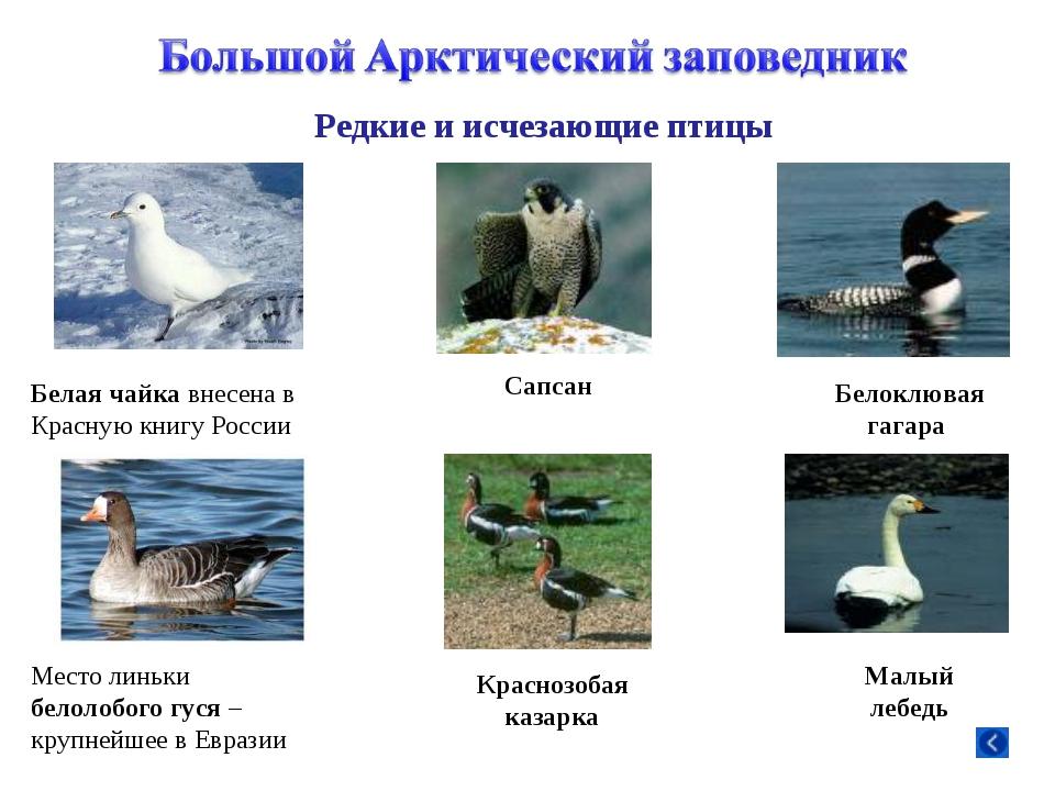 Белая чайка внесена в Красную книгу России Место линьки белолобого гуся – кру...