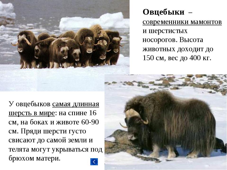 Овцебыки – современники мамонтов и шерстистых носорогов. Высота животных дохо...