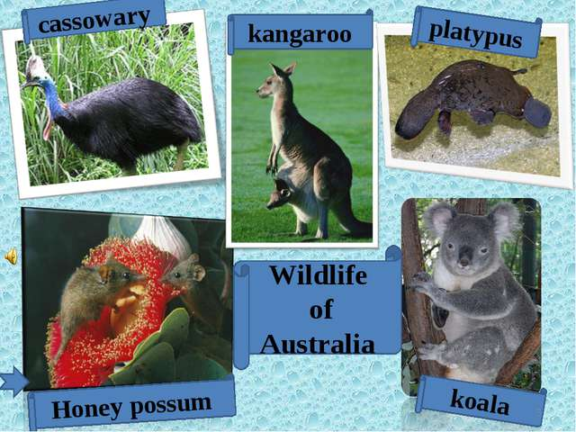 koala Wildlife of Australia Honey possum cassowary platypus kangaroo *