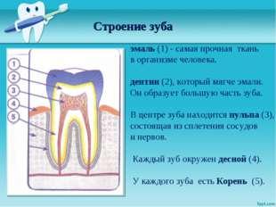 Строение зуба эмаль (1) - самая прочная ткань в организме человека. дентин (2