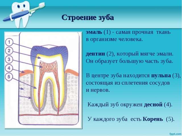 Строение зуба эмаль (1) - самая прочная ткань в организме человека. дентин (2...