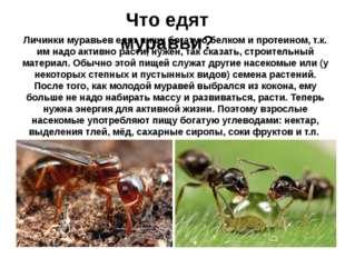 Что едят муравьи? Личинки муравьев едят пищу богатую белком и протеином, т.к.