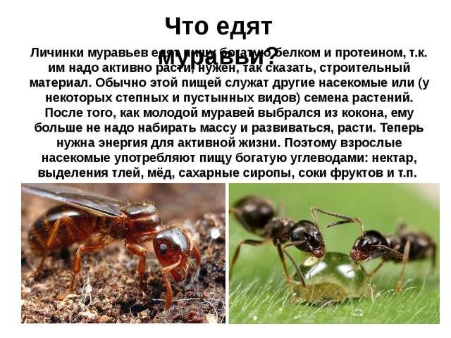 Что едят муравьи? Личинки муравьев едят пищу богатую белком и протеином, т.к....