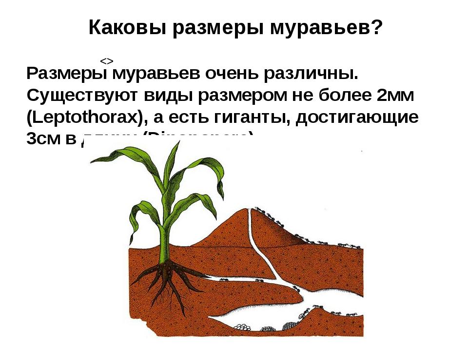 Каковы размеры муравьев? Размеры муравьев очень различны. Существуют виды раз...
