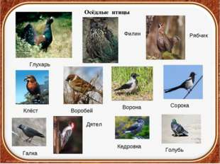 Осёдлые птицы Глухарь Филин Рябчик Клёст Воробей Ворона Сорока Галка Дятел К
