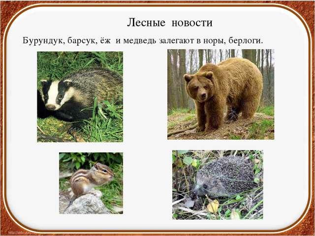 Лесные новости Бурундук, барсук, ёж и медведь залегают в норы, берлоги.