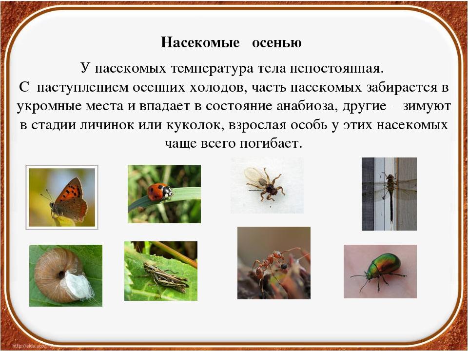 Насекомые осенью У насекомых температура тела непостоянная. С наступлением ос...