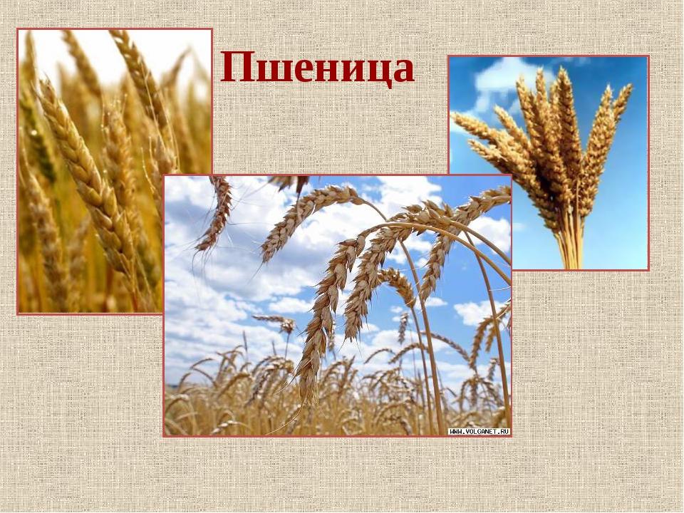 Картинки пшеницы рожь окружающий мир