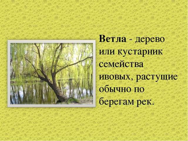 Ветла - дерево или кустарник семейства ивовых, растущие обычно по берегам рек.