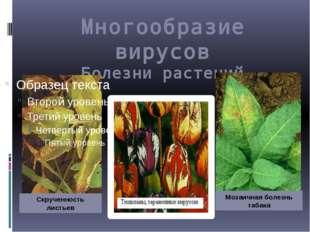 Многообразие вирусов Болезни растений Скрученность листьев Мозаичная болезнь