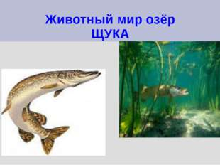 Животный мир озёр ЩУКА