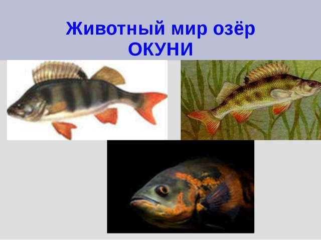 Животный мир озёр ОКУНИ
