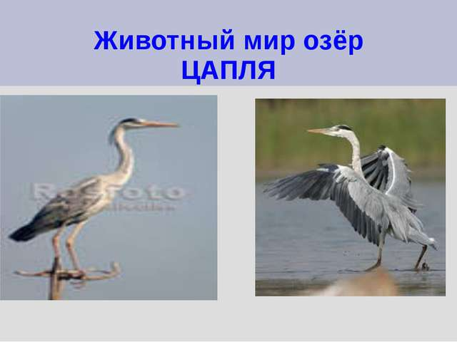 Животный мир озёр ЦАПЛЯ