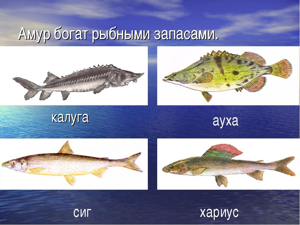 Амур богат рыбными запасами. калуга сиг ауха хариус